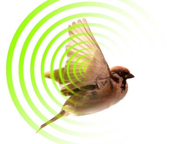 Disappearing Birds Due to EMF Radiation Saturation